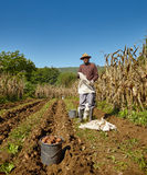 Potatoes harvest Stock Image