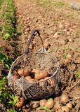 Potatoes harvesting. In basket on sunny day Royalty Free Stock Photos