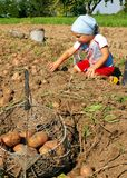 Potatoes harvesting. In basket on sunny day Royalty Free Stock Images