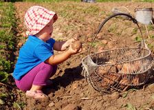 Potatoes harvesting. In basket on sunny day Royalty Free Stock Photo