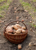 Potatoes harvesting Stock Photography