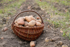 Potatoes harvesting in basket Stock Photography