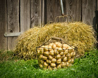 Potatoes and hay Stock Images