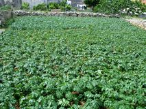 Potatoes in a kitchen garden Stock Images