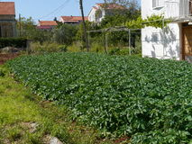 Potatoes in a kitchen garden in the Mediterranian Royalty Free Stock Image