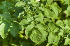 Potatoes leaves Stock Image