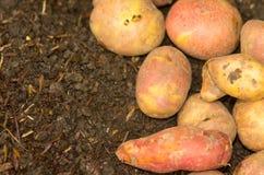 Potatoes lying on ground Royalty Free Stock Photo
