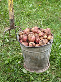 Potatoes in the old bucket Stock Images