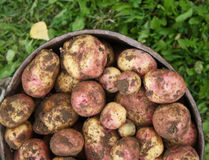 Potatoes in the old bucket Stock Photos