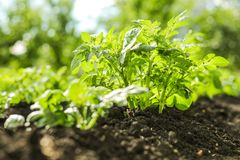 Potatoes in the open ground. Growing vegetables organic farming. For vegetarian food stock photo
