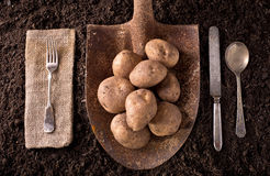 Potatoes. Organic farm to table healthy eating concept on soil background Royalty Free Stock Images