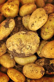 Potatoes from organic farming Royalty Free Stock Images