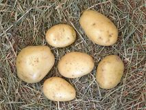 Potatoes on outdoor straw Royalty Free Stock Image