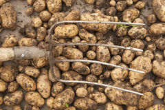 Potatoes and the pitchforks Stock Image
