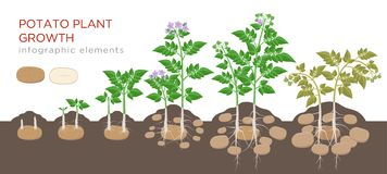Potatoes plant growing process from seed to ripe vegetables on plants isolated on white background. Potato growth stages. Planting process, plant life cycle stock illustration