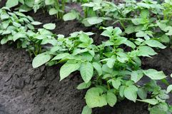 Potatoes plantation Royalty Free Stock Photos