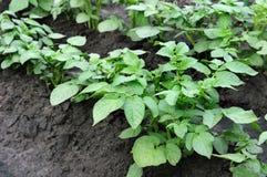Potatoes plantation Royalty Free Stock Photos