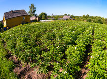 Potatoes plantation in russian village Stock Photography