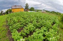 Potatoes plantation in russian village Stock Photo