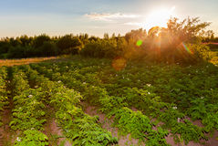 Potatoes plantation Royalty Free Stock Image