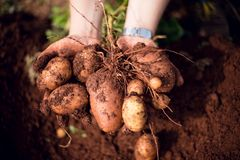 Potatoes Planting ideas royalty free stock photos