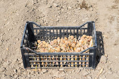 Potatoes for planting Stock Photos