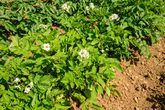 Potatoes plants and flowers Royalty Free Stock Image