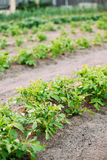 Potatoes Plants Growing In Raised Beds In Vegetable Garden In Su. Potatoes Plants Growing In Raised Beds In Vegetable Garden. Summer Season Royalty Free Stock Images