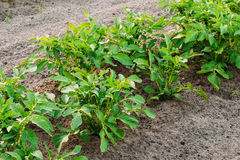 Potatoes Plants Growing In Raised Beds In Vegetable Garden In Summer Royalty Free Stock Photo