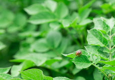 Potatoes, potato beetle Stock Photo