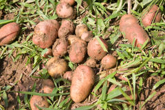Potatoes raw Royalty Free Stock Photos