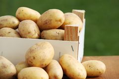 Potatoes. Raw potatoes in wooden box in the garden stock photography