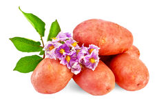 Potatoes red with a flower Royalty Free Stock Image