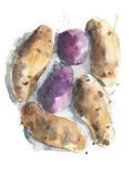 Potatoes red yellow rusett potatoes vegetables watercolor painting illustration isolated on white background Stock Image