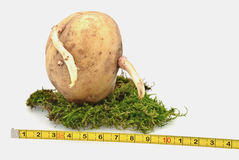 Potatoes- the relative size Royalty Free Stock Image