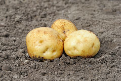 Potatoes. Ripe young potatoes tubers on the ground, closeup Royalty Free Stock Photos