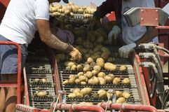 Potatoes selection Stock Image