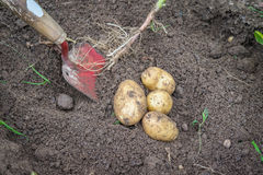 Potatoes and a shovel in the soil Royalty Free Stock Photography