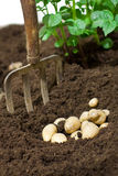 Potatoes in the soil Royalty Free Stock Image