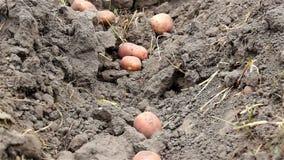 Potatoes on soil stock video footage