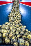 Potatoes sort process at the factory. Potatoes sort process on a conveyor belt, prepared for packing Stock Photography