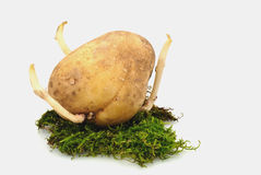 Potatoes sprout Royalty Free Stock Photos