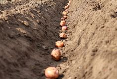 Potatoes that are sprouted are sown in the ground royalty free stock image