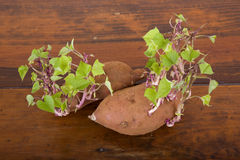 Potatoes sprouting Royalty Free Stock Photos