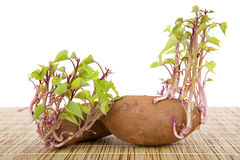 Potatoes sprouting Royalty Free Stock Images