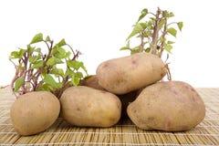 Potatoes sprouting Stock Photo