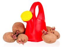 Potatoes sprouts Royalty Free Stock Photos