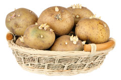 Potatoes with sprouts Royalty Free Stock Images