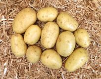 Potatoes on straw Stock Images