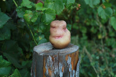 Potatoes on the stump. Flirtatious woman's face at the root of p. Otatoes Stock Photo